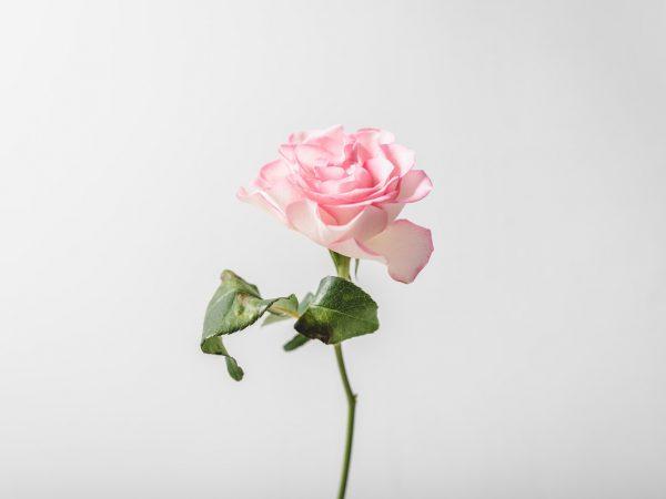 roses-revolution-1